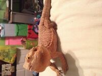 Reduced adult leatherback bearded dragon!