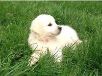 Ice White Pedigree Golden Retriever Puppies