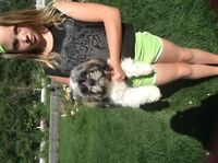5 month old male Shih tzu puppy for sale!