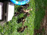 Ducklings and adults  ROUEN