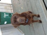 Chocolate lab CKC