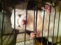 ferret and large cage