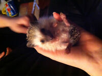 4 month old male hedgehog