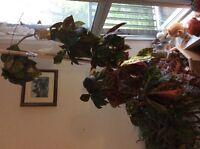 Croton plant and 2 Christmas cactus plants