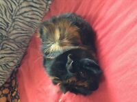 Gorgeous female guinea pig in need of a forever home