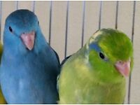 green parrotlet £40 blue parrotlet £60 with or without cage