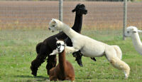 Annual Alpaca Shearing (Day at the Spa) /Food Truck On Site too
