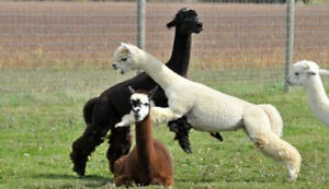ALPACA SHEARING.. MAY 26TH.. FOOD TRUCK ON SITE