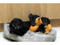 Pure Bred Real Miniature Dachshund Puppies