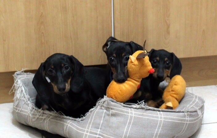 Pure Bred Real Miniature Dachshund Girl Puppies