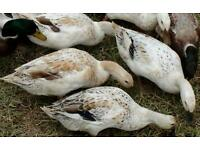 Welsh harlequin/buff Orpington ducks for sale