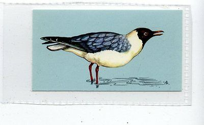 (Jd4237) TETLEY,BRITISH BIRDS,BLACK-HEADED GULL,1970,#34