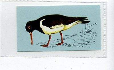 (Jd4245) TETLEY,BRITISH BIRDS,OYSTERCATCHER,1970,#38