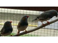 Zebra finches *male*