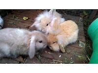 Various baby lop rabbits