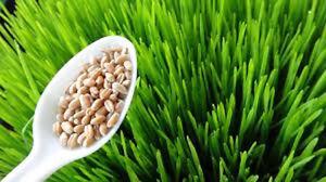 Wheat Grass!!!