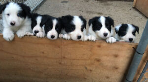 1 Border Collie Pup Available!