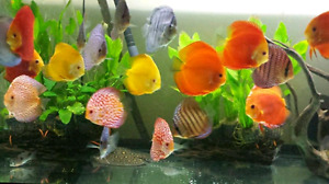 Discus fish for sale (fresh water)