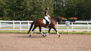 Fancy Oldenburg Mare Suitable for Amateur or Child