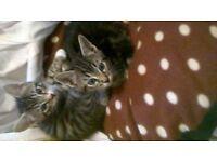 Female part bengal kittens