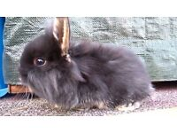 Mini lop cross Lionheads