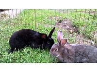 Two Young Female Rabbits - Part Rex Black and Grey