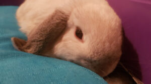 Friendly and Cute Dwarf Holland Lop for Sale!