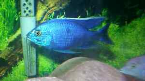 African Cichlid Show Males and Fry