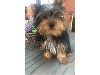 Yorkshire Terrier puppie
