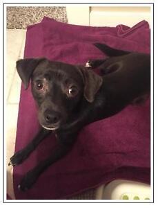 "Young Male Dog - Chihuahua: ""Wrigley"""