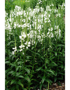 perennial .. Obedience Plants ... blooms mauve/white color ... Cambridge Kitchener Area image 1