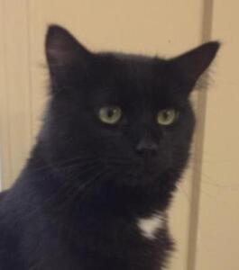 """Young Male Cat - Domestic Medium Hair (Black): """"Kodiak"""""""