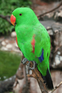 Looking for mature Male Eclectus