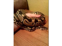 Royal Python 2 years old ( INCLUDES VIVARIUM AND ACCESSORIES)