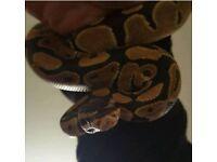 Male python snake