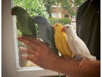 """baby """"cockatiel like"""" rose-ring talking pet £90/£140/£150 & cages from £20"""