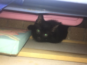 Bandit - KITTEN KAPERS RESCUE Cleveland Redland Area Preview