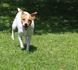 Adult Male  - Jack Russell Terrier (Parson Russell Terrier) Cambridge Kitchener Area image 1