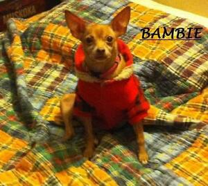 "Adult Female Dog - Chihuahua: ""BAMBIE"""