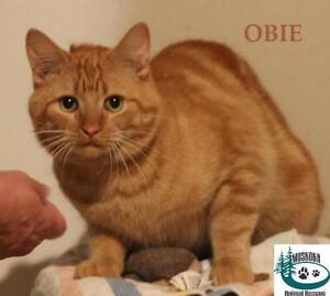 "Young Male Cat - Domestic Short Hair: ""Obie - Great Companion!"""