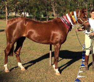 Arabian pony Mare Pullenvale Brisbane North West Preview