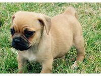 Adorable Jug puppy