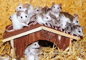 Mice for Zootherapy/Souris pour Zoothérapie
