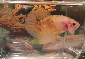 Giant Betta Fish Windsor Region Ontario image 6