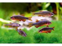 Galaxy rasbora tropical fish x6