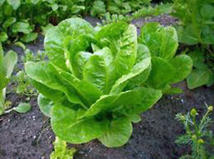 LETTUCE-BUTTERHEAD-BUTTERCRUNCH-HEIRLOOM-ORGANIC-25-SEEDS-DELICIOUS-GREENS