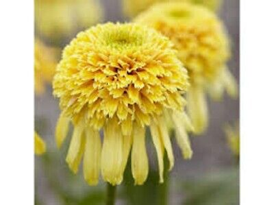 Unique ECHINACEA  'LEMON DROP' DOUBLE CONEFLOWER  -Easy To Grow And Care For