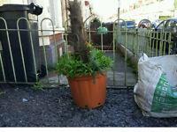 big plant pots (for free)
