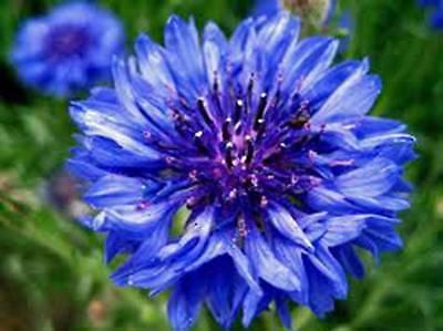 DWARF BLUE BACHELOR BUTTON 100+ SEEDS ORGANIC, BEAUTIFUL FLOWER,BORDER FLOWER