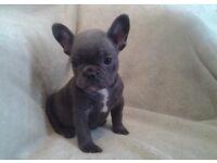 KC French bulldog puppy's blue